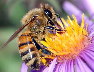 AA Honey Bees (31)
