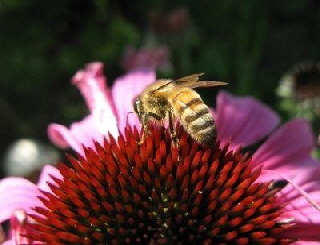 AA Honey Bees (32)